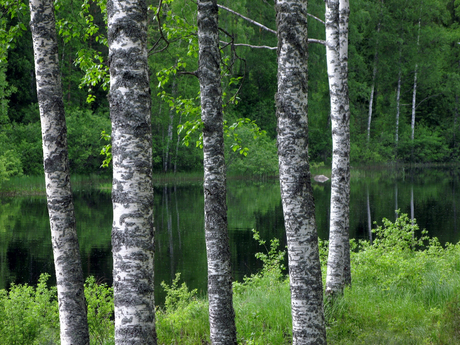 Birch tree, Lakeland, Kuopio