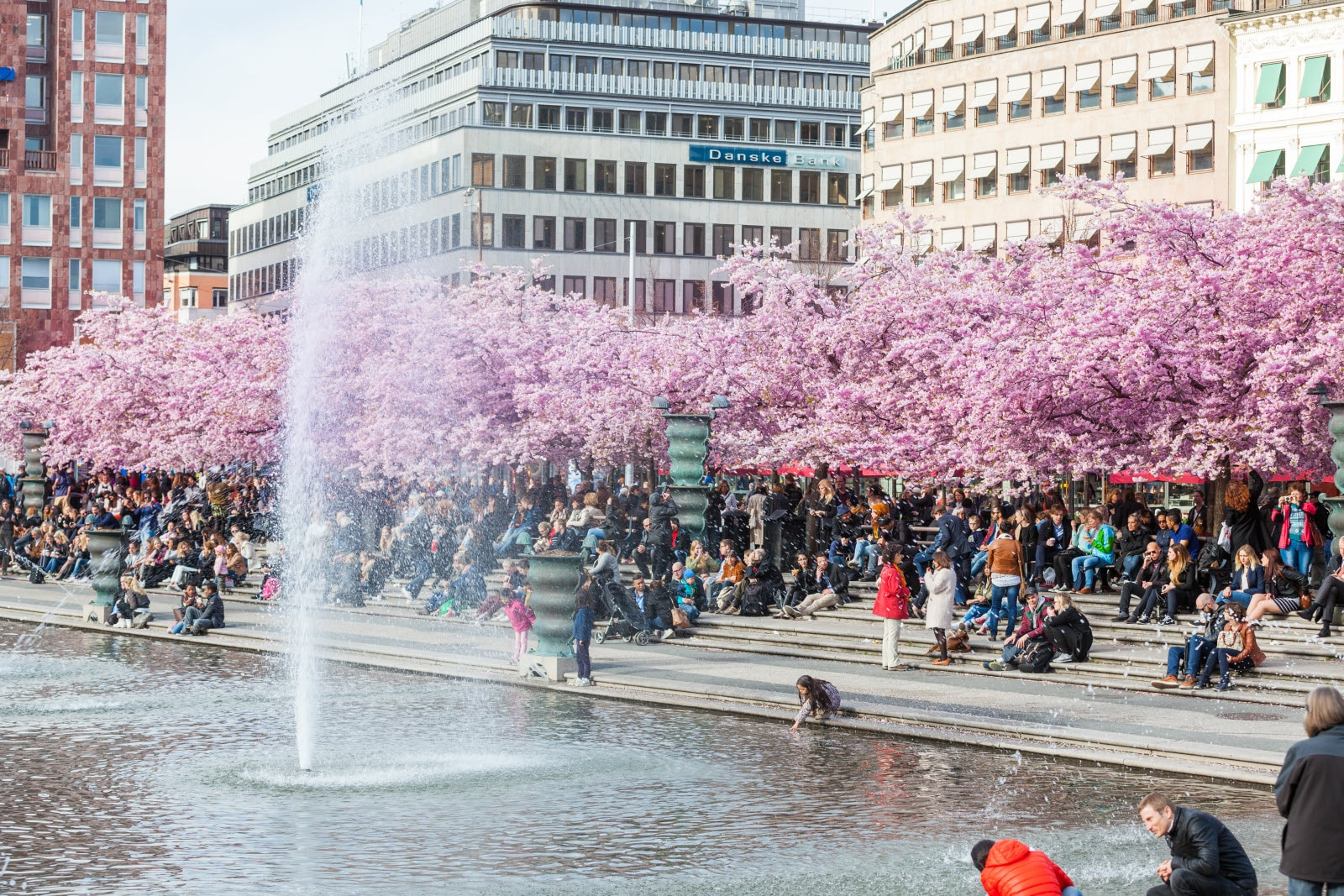 Cherry blossoms Kungstradgarden in Stockholm